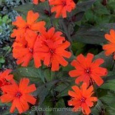 Mølleblomst Lychnis arkwrightii 'Vesuvius' 40 cm Juni - Juli Red Bedding, Juni, Gardening, Orange, Flowers, Plants, Lawn And Garden, Florals, Plant