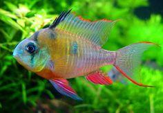 Mikrogeophagus altispinosus es una especie de peces de la familia Cichlidae en el orden de los Perciformes.
