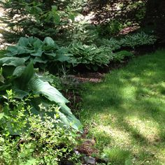Hosta garden split most in 2011 fall...planted three yellow, blue tipped and spikes in spring 2012