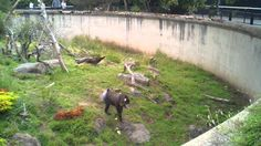 Mandrill (baboon) at SF Zoo