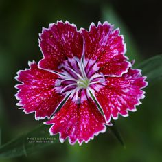 "500px / Photo ""Dianthus chinensis --패랭이꽃"" by Daehee LEE"