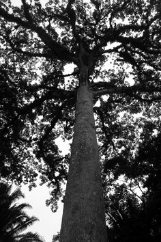 Huge Cotton Tree in Cayo, Belize.  Have you seen one of these?