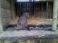Yesterday, we moved 4 baboons that arrived in April to an outside enclosure. This is the first phase until they are ready to be incorporated into our troop for awareness purposes. Baboon, Troops, The Outsiders, Purpose