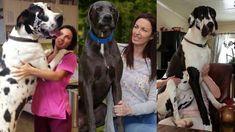 Como Adiestrar a un Gran Danés Para Que Se Porte Bien I Love Dogs, Youtube, Animals, Home, Great Danes, Animales, Animaux, Animal, Animais