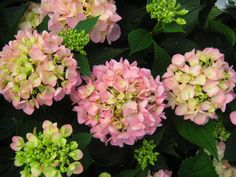 Like a lot of Grumpys faithful readers Heather in Raleigh wants to know why her French hydrangea (Hydrangea macrophylla the one with blue or pink flowers) always looks green and hea Peonies And Hydrangeas, Hydrangea Not Blooming, Hydrangea Garden, Hydrangea Macrophylla, Hydrangea Landscaping, Landscaping Plants, Corner Garden, Lawn And Garden, Spring Garden