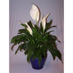 175mm Assorted Spathiphyllum Peace Lily Peace Lily, Garden Products, Warehouse, Garden Ideas, Range, Store, Plants, Cookers, Larger