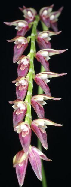 Inflorescence of Unciferia segoviensis