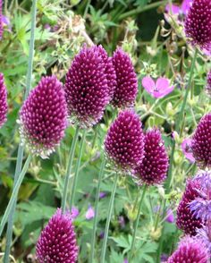 Buy these fabulous, reddish purple Allium Sphaerocephalon bulbs and plant them in drifts amongst grasses or in bold clumps. Recommended in The Telegraph as one of the best alliums for your garden. Allium Flowers, Plants, Daffodils Planting, Allium Sphaerocephalon, Flowers, Spring Flowering Bulbs, British Flowers, Perennial Plants, Flower Seeds