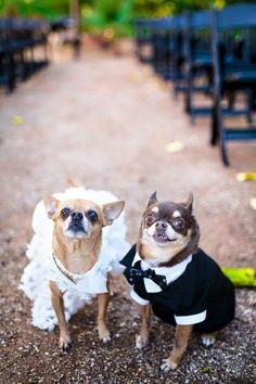 Chihuahua Wedding