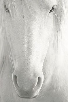 "True White : One of the rarest colors, a white horse has white hair and fully or largely unpigmented (pink) skin. These horses are born white, with blue or brown eyes, and remain white for life. The vast majority of so-called ""white"" horses are actually grays with a fully white hair coat. A truly white horse that lives to adulthood occurs one of two ways: either by inheriting one copy of a dominant white (""W"") gene, of which... https://en.wikipedia.org/wiki/White_%28horse%29"