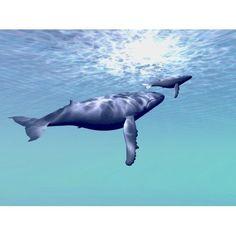 Two humpback whales swim together in beautiful ocean waters Canvas Art - Corey FordStocktrek Images (17 x 13)