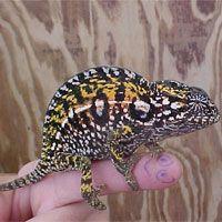 Own a Carpet Chameleon!!