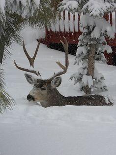 Deer making his way through snow