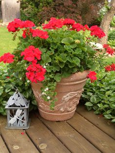 Red geraniums - have these exact pots! do this next season Summer Flowers, Red Flowers, Beautiful Flowers, Love Garden, Garden Pots, Garden Club, Container Plants, Container Gardening, Red Geraniums