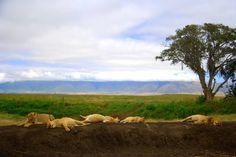 Em Ngorongoro a chance de encontrar um bando de leões (Panthera leo) deitados de barriga cheia e patas para cima, cansados de tanto comer, é enorme. A cratera é a área de maior densidade dos felinos no mundo - Foto: Fábio Paschoal