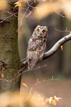 Long eared owl by Jan Pelcman