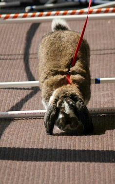 Courage the French lop bunny hopping (jumping hurdles) he won 2nd at state and 5th at ARBA rabbit convention in 2011