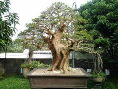 Bonsai Art, Bonsai Trees, Murraya Paniculata, Small Trees, Art Of Living, Ikebana, Ancient Art, The Incredibles, Landscape