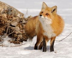 Red Fox by Rolland Gelly on 500px