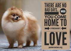 Everything About Cute Pomeranian Dogs Temperament Pomeranian Memes, Pomeranian Haircut, Black Pomeranian, Cute Pomeranian, Siberian Husky Puppies, Dachshund Puppies, Siberian Huskies, Weiner Dogs, Chihuahua