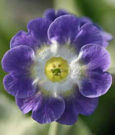 auricula bowens blue picture  Looking for auriculas.  Grew some from seed this year and lost the lot in one night from slug attack.  Didn't stand a chance with the summer we had - so much rain.