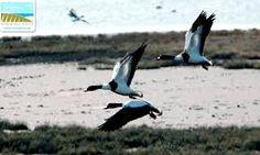 Αποτέλεσμα εικόνας για δελτα εβρου πανιδα Bird, Animals, Animales, Animaux, Animais, Birds, Animal