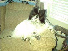 Black and white Pomeranian.