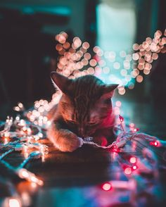 Cat | Christmas lights