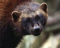 Protect Endangered Wolverines!