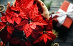 How To Make Sure Your Holiday Poinsettia Blooms Again Next December  http://www.rodalesorganiclife.com/garden/how-to-make-sure-your-holiday-poinsettia-blooms-again-next-december?utm_campaign=OrganicLife