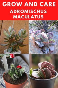 Learn how to grow and care for the adromischus maculatus. Types Of Succulents, Succulent Care, Plants, Plant, Planets