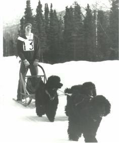 One day, John Suter went along for a snowmobile ride and was amazed that his poodle could keep up with the snowmobile, at a reasonable speed. He decided to race standard poodles in the 1976 Chugiak Sled Dog Race. The poodles enjoyed running so much that they competed in the Iditarod Sled Dog Race in 1988 thru 1991. The poodles finished all four Iditarod Races, towards the middle of the pack. John and his poodles, also ran the John Beargrease 500 mile sled dog race in Duluth, Minnesota.