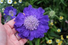 Scabiosa 'Fama Blue' loves you | by anniesannuals