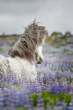 Horse galloping through lavender in Provence