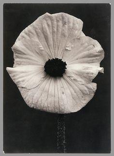 Bégonia (Begonia Single White), Charles Jones