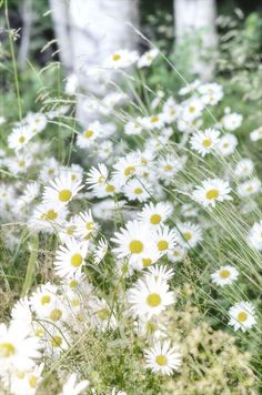 Shasta daisies remind me of Mom