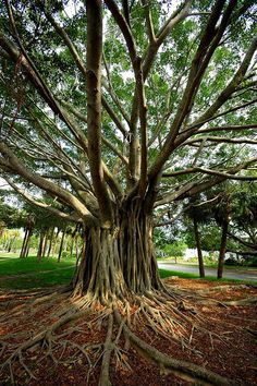 Banyan tree Venice, FL