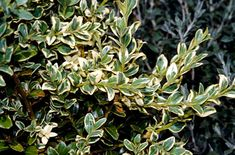 Buxus sempervirens, or box. An evergreen shrub that can be clipped or allowed to grow freely. Buxus can cope with heavy shade. The variegated variety shown here is 'Elegantissima'.
