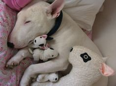 Bull Terrier snuggling with stuffed bull terriers