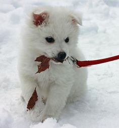 Perrin the American Eskimo Dog