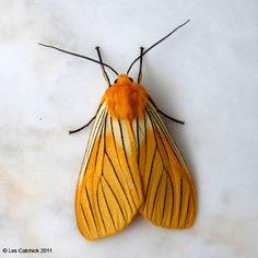 Black-veined yellow moth (Pachydota nervosa) by LPJC, via Flickr
