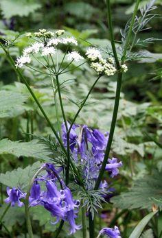 Cow Parsley and Bluebell