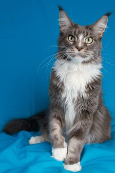 A Zwollywood Cat Maine Coon, Diesel, Cats, Blue, Animals, Diesel Fuel, Gatos, Animales, Kitty Cats