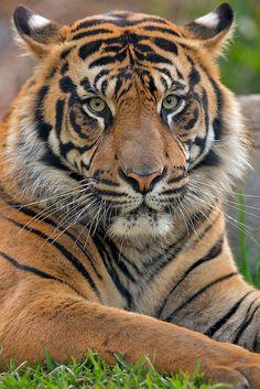 Sumatran Tiger <3 - www.savetigersnow.org - tigertime.info/the-crisis - www.savewildtigers.org/ - www.panthera.org/node/1399