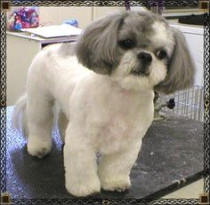I need to do this for max in the summer  I keep all of my shih tzus trimmed high and tight. No seriously, they have hair, not fur, and keeping it long is insanity unless it's show dog. The cut on the face, I call a 'puppy cut'; short ears and beard.