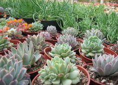 California Nursery Specialties - Cactus Ranch - Cacti and Succulents