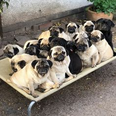 "Visit our web site for additional details on ""black pug"". It is an excellent spot to read more. Pug Puppies, Pet Puppy, Pet Dogs, Doggies, National Pug Day, Pugs And Kisses, Cute Puppy Pictures, Dog Pictures, Puppy Care"