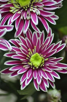Chrysanthemum Chrysanthemum