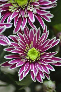 Chrysanthemum Chrysanthemum