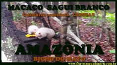 Amazônia - Bicho do Mato - Macaco Sagui Branco - Mico argentatus - Calli...